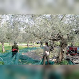 Oliwa z oliwek Physis of Crete 0,3% 5l